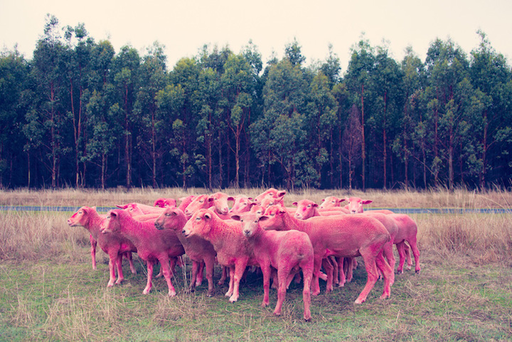Photographer Gray Malin lets colour-dyed sheep roam the earthBLEND\BUREAUX